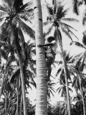 Filipino Man Climbing Tree Trunk of Coconut Palm To Harvest Coconuts, Near Manila by Charles Phelps Cushing