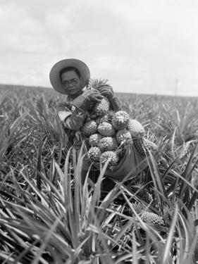 Pineapple Harvest by Charles Phelps Cushing