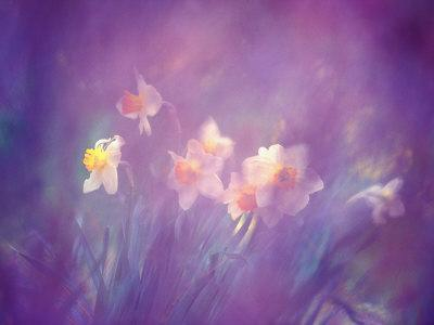 Abstract of Daffodils, New Brunswick, Canada
