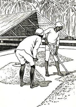 'Drying the Cocoa', 1912 by Charles Robinson