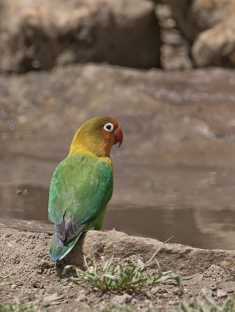 Africa, Tanzania, Ngorongoro Conservation Area. Fischer's Lovebird by Charles Sleicher