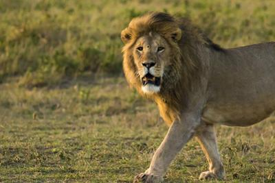 Africa, Tanzania, Ngorongoro Conservation Area. Male lion by Charles Sleicher