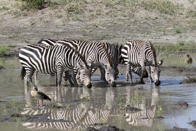 Africa, Tanzania, Ngorongoro Conservation Area. Plains zebras drinking. by Charles Sleicher