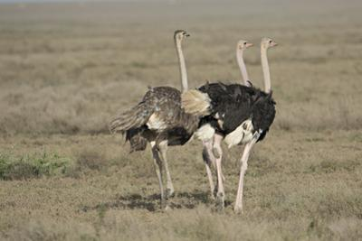 Africa, Tanzania, Ngorongoro Conservation Area. Three male Common Ostrich by Charles Sleicher