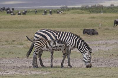 Africa, Tanzania, Ngorongoro Crater. Plain zebras grazing in the crater. by Charles Sleicher
