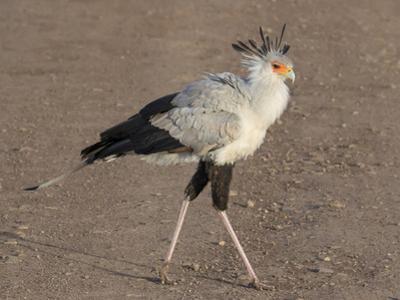 Africa, Tanzania, Ngorongoro Crater. Secretary Bird by Charles Sleicher