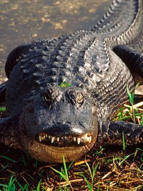 Alligator, Everglades National Park, Florida, USA by Charles Sleicher