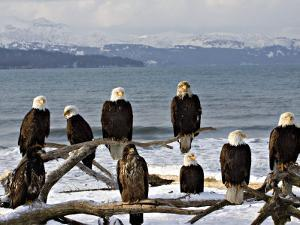Bald Eagles in Winter, Homer, Alaska by Charles Sleicher