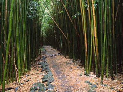 Bamboo Forest on the Waimoku Falls Trail, South of Hana, Maui, Hawaii, USA by Charles Sleicher