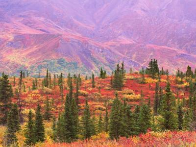Fall Color in Denali National Park, Mt. Denali, Alaska, USA by Charles Sleicher