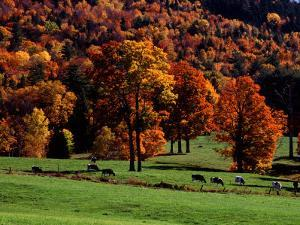 Field with Cows and Fall Color, Vermont, USA by Charles Sleicher
