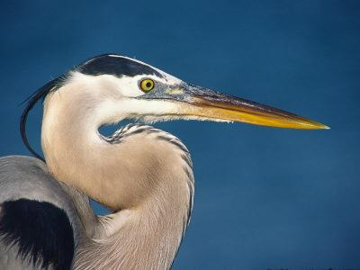 Great Blue Heron, Sanibel Island, Florida, USA