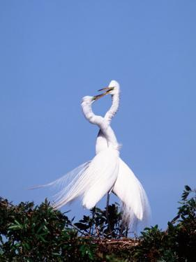 Great Egret in a Courtship Display, Florida, USA by Charles Sleicher