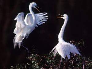 Great Egret in Courtship Display by Charles Sleicher