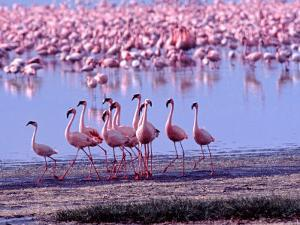 Lesser Flamingo and Eleven Males in Mating Ritual, Lake Nakuru, Kenya by Charles Sleicher