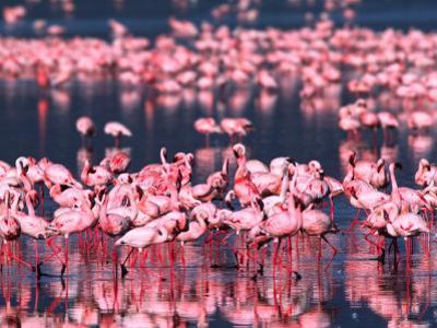 Lesser Flamingos, Lake Nakuru, Kenya by Charles Sleicher