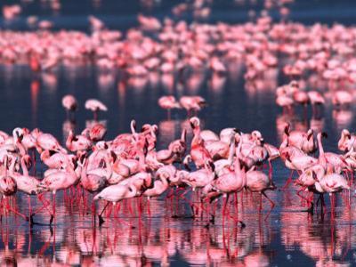 Lesser Flamingos, Lake Nakuru, Kenya
