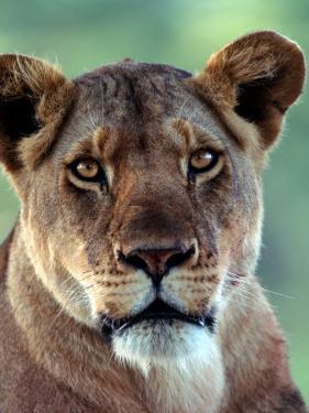 Lioness by Charles Sleicher