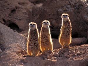 Meerkats in the Phoenix Zoo, Arizona, USA by Charles Sleicher