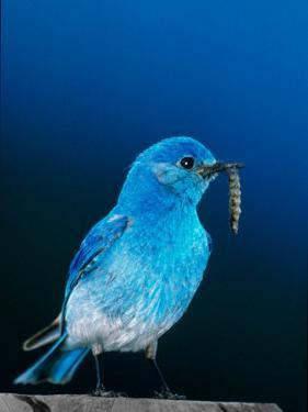 Mountain Bluebird in Yellowstone National Park, Wyoming, USA by Charles Sleicher