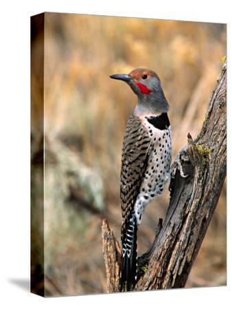 Northern Flicker, Oregon, USA
