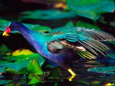 Purple Gallinule Foraging, Everglades National Park, Florida, USA by Charles Sleicher