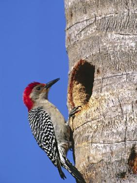 Red-Bellied Woodpecker, Everglades National Park, Florida, USA by Charles Sleicher