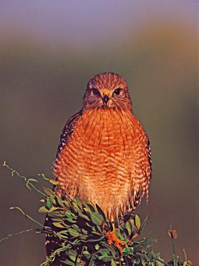 Red-shouldered Hawk in Early Morning Light, Everglades National Park, Florida, USA by Charles Sleicher