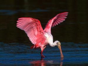 Roseate Spoonbill, Ding Darling National Wildlife Refuge, Sanibel Island, Florida, USA by Charles Sleicher