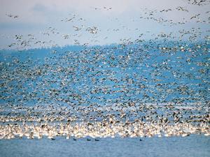 Snow Geese in Flight, Skagit Valley, Skagit Flats, Washington State, USA by Charles Sleicher
