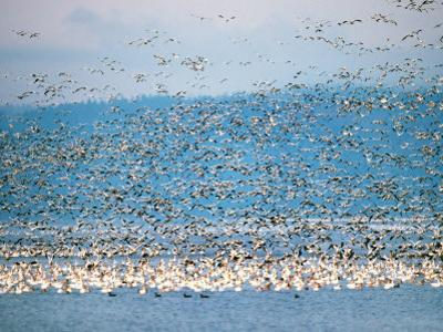Snow Geese in Flight, Skagit Valley, Skagit Flats, Washington State, USA