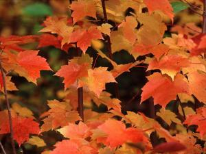 Sugar maple leaves in fall, Vermont, USA by Charles Sleicher