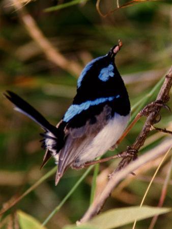 Superb Fairy-Wren or Blue Wren., Australia by Charles Sleicher