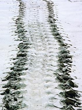 Tracks of a Pacific Green Turtle, Pacific Ocean, Galapagos Islands, Ecuador by Charles Sleicher