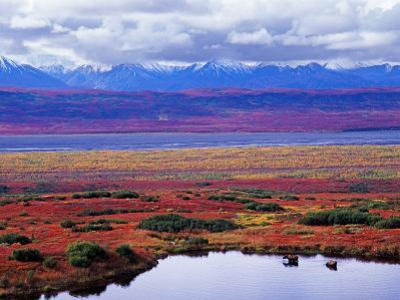 Two Moose in a Pond with Fall Tundra, Denali National Park, Alaska, USA