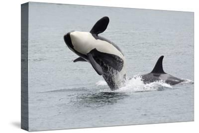 Washington, San Juan Islands. Killer Whales or Orcas, Orcinus Orca