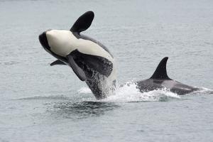 Washington, San Juan Islands. Killer Whales or Orcas, Orcinus Orca by Charles Sleicher