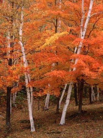 White Birch Trees in Fall, Vermont, USA by Charles Sleicher
