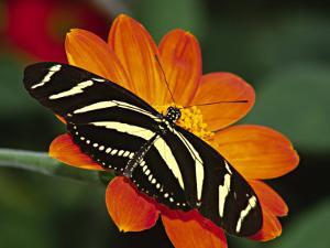 Zebra Longwing Butterfly, Selva Verde, Costa Rica by Charles Sleicher