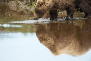 A Brown Bear, Ursus Arctos, Reflected on the Surface of the Water by Charles Smith