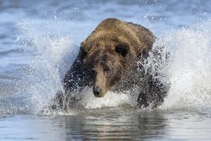 Brown Bear Fishing at Silver Salmon Creek Lodge in Lake Clark National Park by Charles Smith