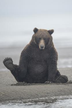 Brown Bear Sitting on Sand at Silver Salmon Creek Lodge in Lake Clark National Park by Charles Smith