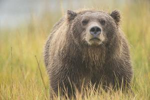 Brown Bear, Ursus Arctos, at Silver Salmon Creek Lodge in Lake Clark National Park by Charles Smith