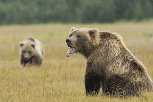 Brown Bear, Ursus Arctos, in Grassy Field Sticking Tongue Out by Charles Smith