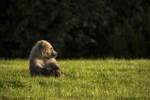Brown Bear, Ursus Arctos, Sitting in Green Grass by Charles Smith