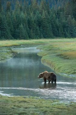 Brown Bear, Ursus Arctos, Standing in Water at Silver Salmon Creek Lodge by Charles Smith