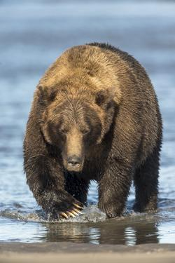 Brown Bear Wading in Water at Silver Salmon Creek Lodge in Lake Clark National Park by Charles Smith