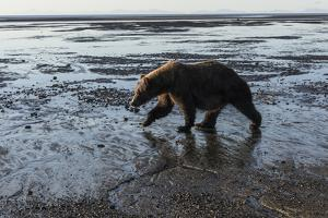 Brown Bear Walking at Silver Salmon Creek Lodge in Lake Clark National Park by Charles Smith