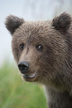Close-Up of Brown Bear, Ursus Arctos, in Lake Clark National Park and Preserve by Charles Smith