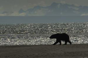Silhouette of a Brown Bear Walking Near the Water at Silver Salmon Creek Lodge by Charles Smith